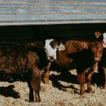 Calves at a farm Season and Supply Calgary