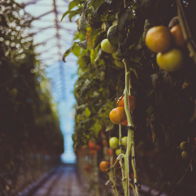 tomatoes growing on a vine in a greenhouse