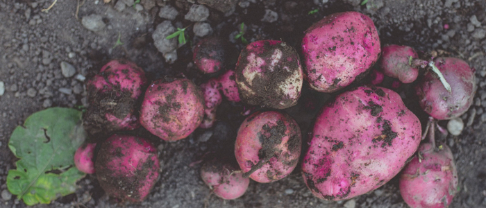 Red potatoes on the ground
